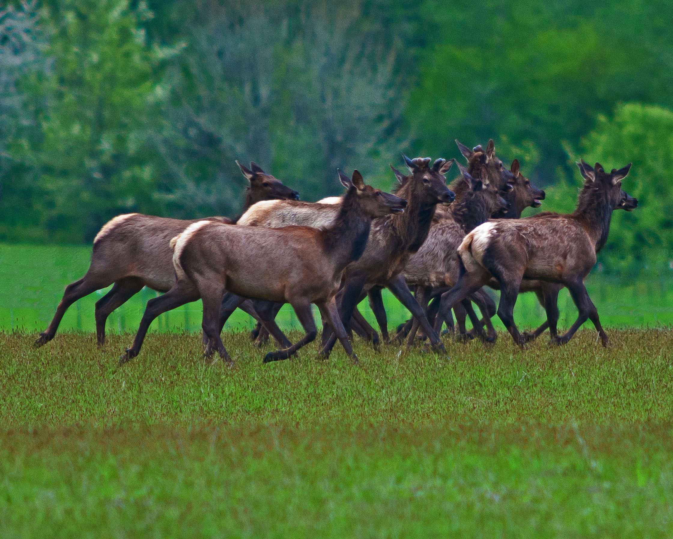 Local Group of Elk – Honorable Mention, by Jeffrey Seldomridge