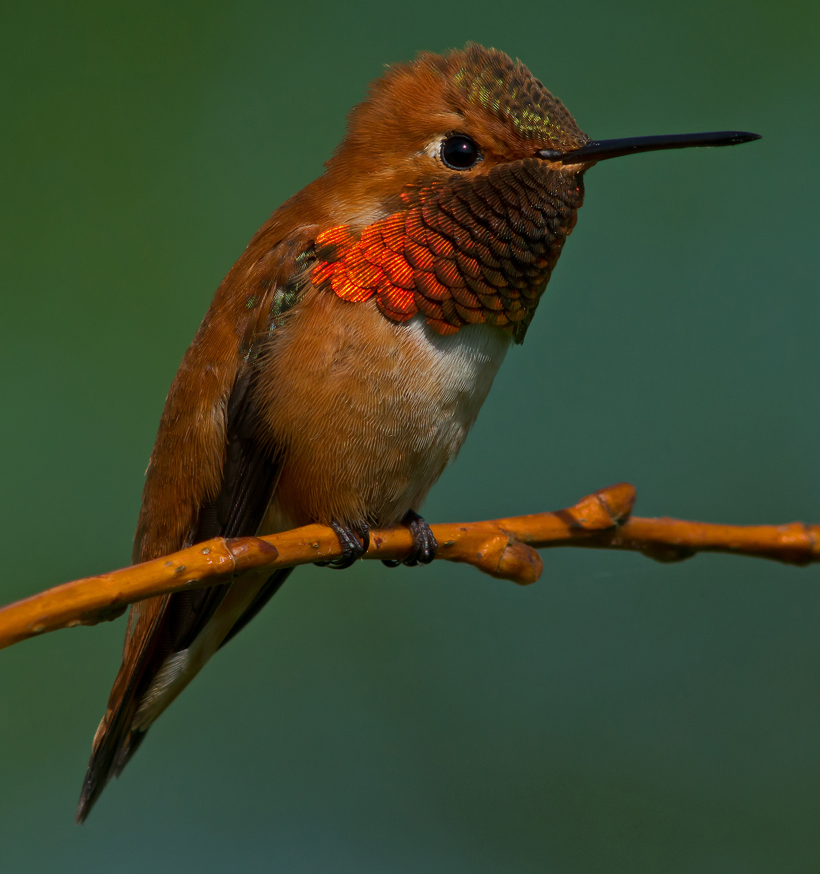 Our Guardian Rufous Hummingbird – Honorable Mention, by Jeffrey Seldomridge